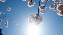 Cherry Blossoms in UW Quad