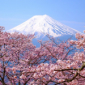 Mt. Fuji with cherry blossoms