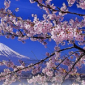 Japanese cherry blossoms with a snowy Mt. Fuji in the background